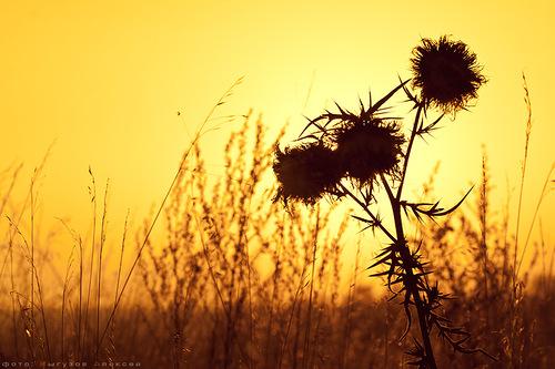 золотой закат и репьи