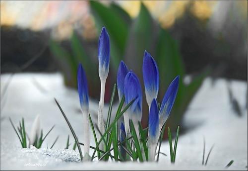 синие первоцветы в снегу