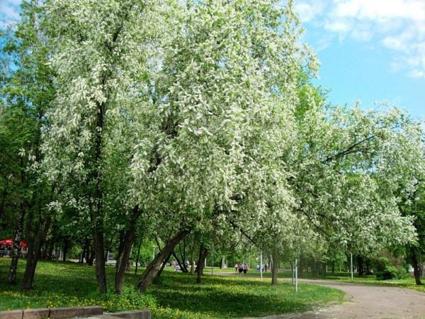 черемуха в парке