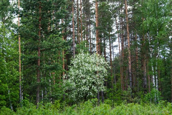 яблоня в лесу2