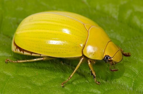 жук желтый