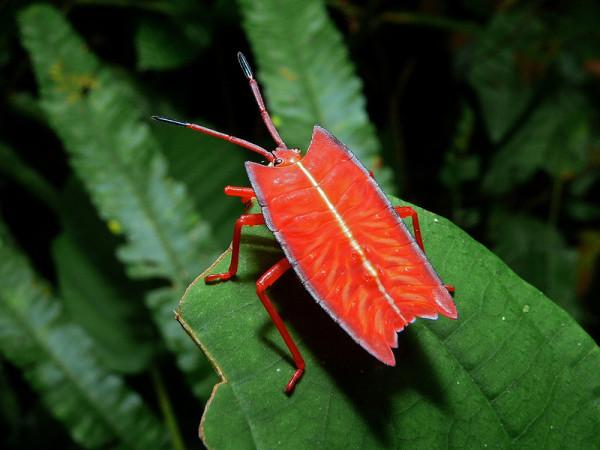 жук красный