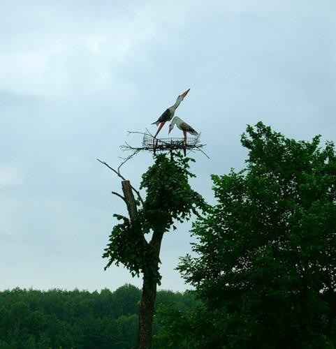 аисты строят гнездо