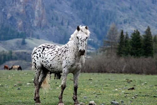 пегая лошадка