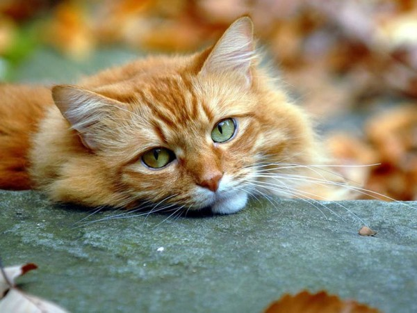 люблю осенних, солнечных котов...