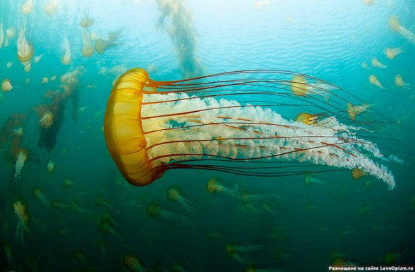 медузы3