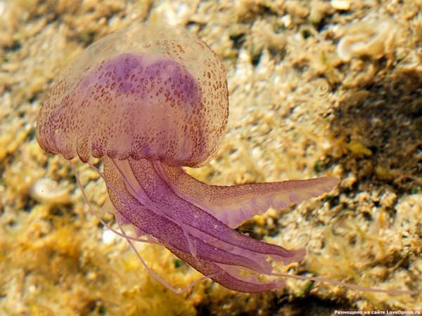 медузы16