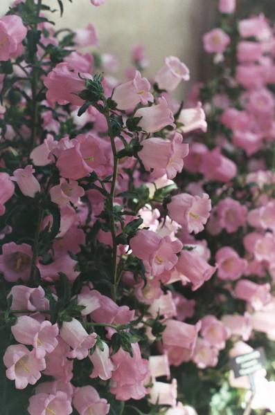 розовые2