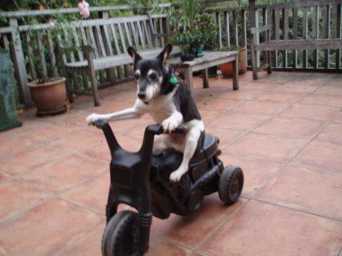 пес-мотоциклист2