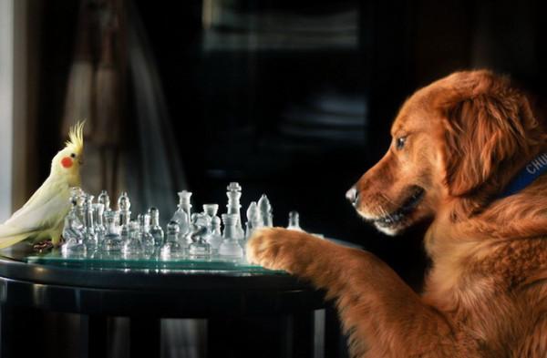 пес-шахматист