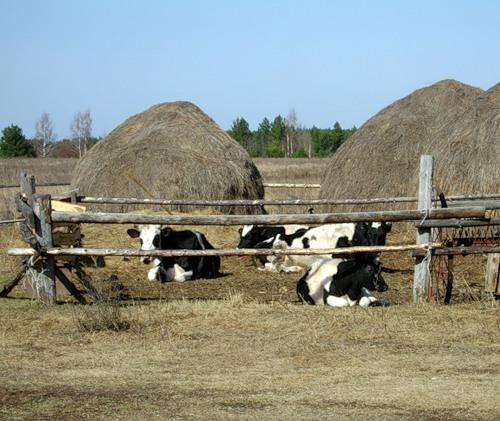коровы и стога