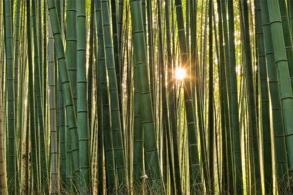 бамбуковые джунгли.