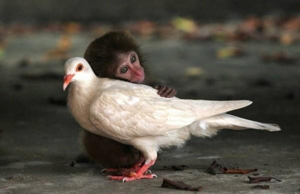 нежность обезьянка и голубь