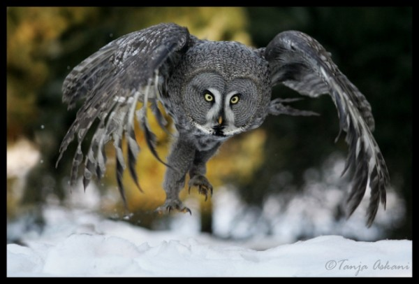 1а сова-неясыть