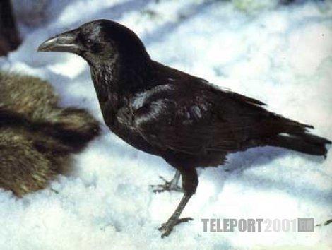 18а ворона черная