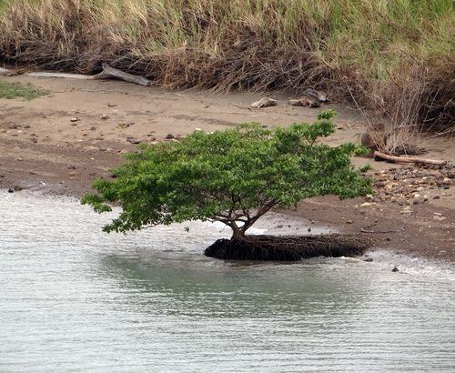 дерево на панамском канале
