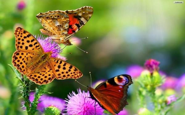 три бабочки