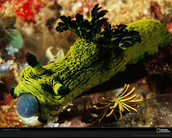 голожаберный моллюск