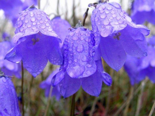 колокольчики в каплях дождя
