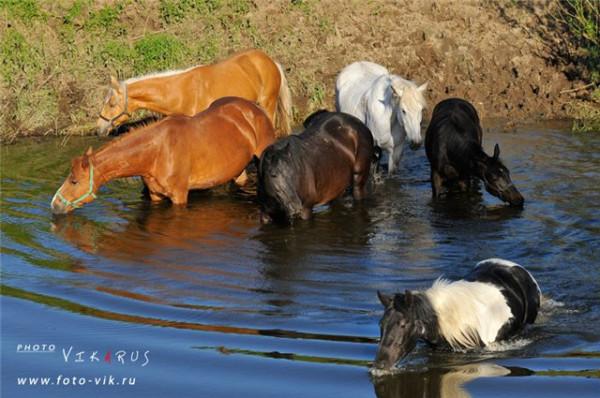 кони купаются
