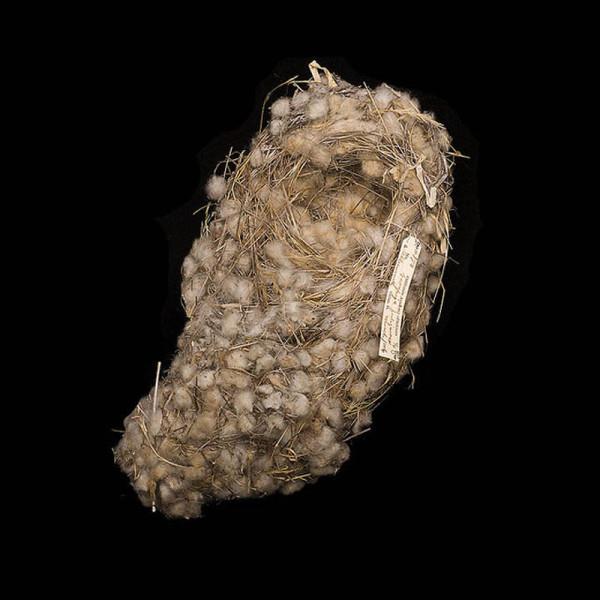 зяблик Дарвина