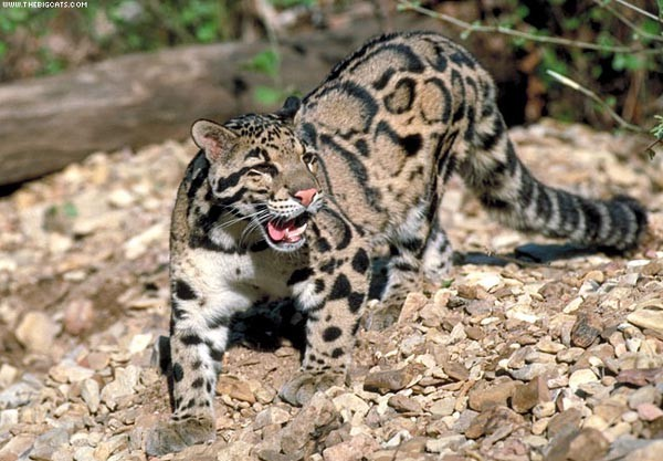 2 дымчатый леопард