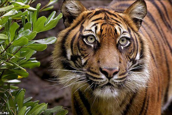 7 тигр