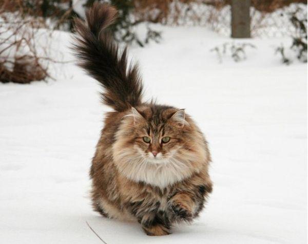 15 норвежская лесная кошка