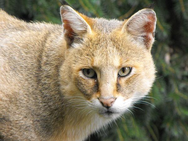 16 камышовый кот