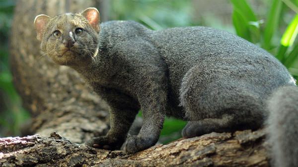 17 бенгальская кошка