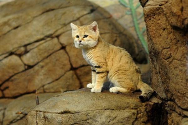 22 барханный кот
