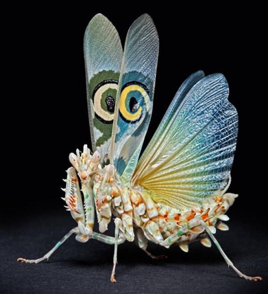 богомол с крыльями