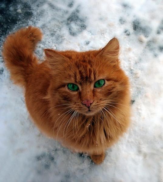 золотой кот с изумрудными глазами