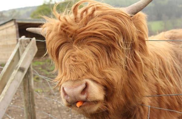 горная мини-корова