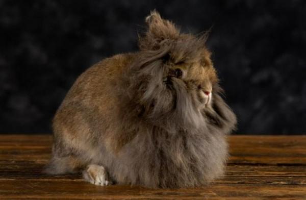 кролик львиная голова