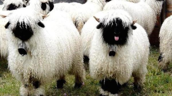 кудрявые  овцы