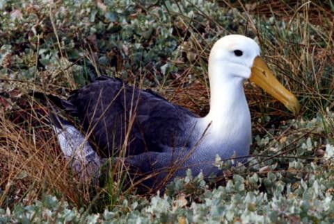 волнистый альбатрос
