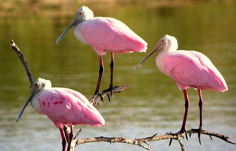 колпица розовая