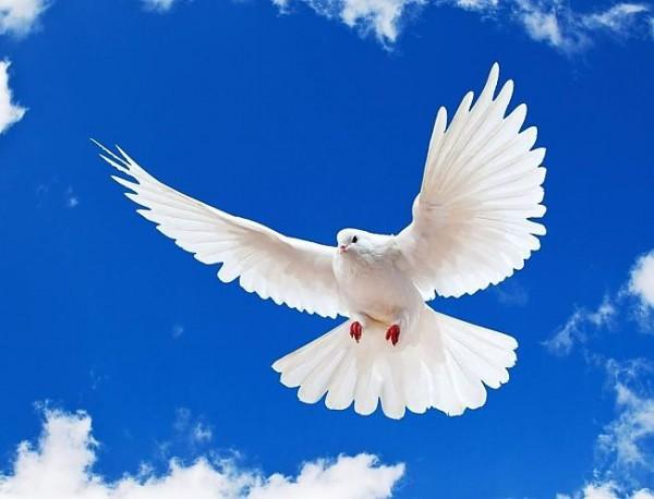 белый голубь1