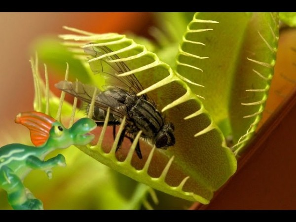 1 венерин мухоловка