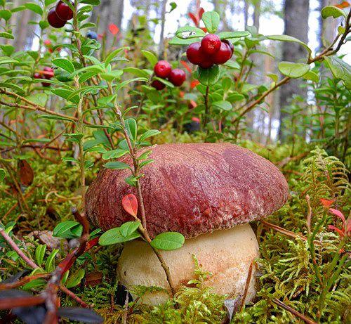 Ты любишь собирать грибы -  боровик