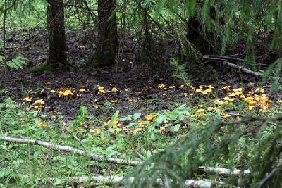 Ты любишь собирать грибы - лисички