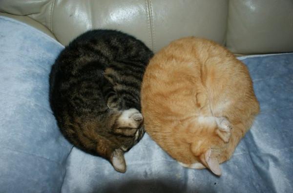 Сопят мои кошки1