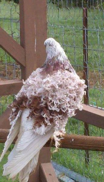 01 курчавый голубь