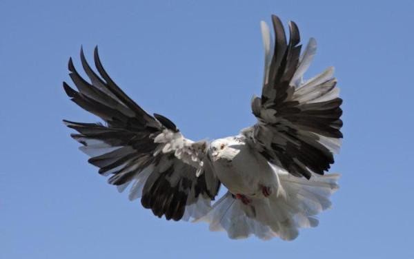 2 николаевский голубь