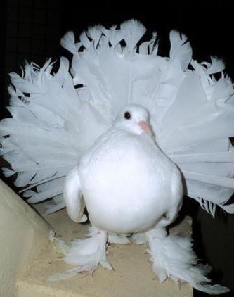 2а павлиний голубь
