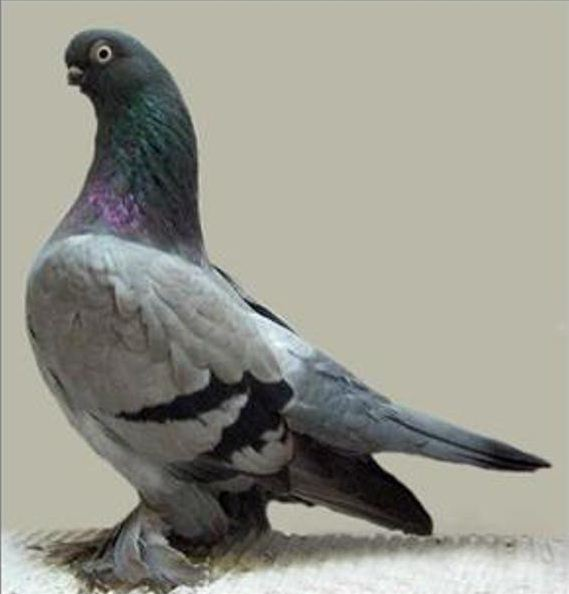 8 берлинский короткоклювый голубь