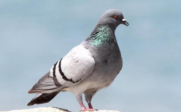 9 скалистый голубь