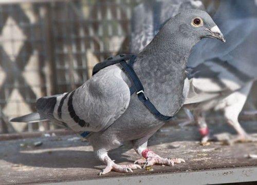 10 бельгийский почтовый голубь
