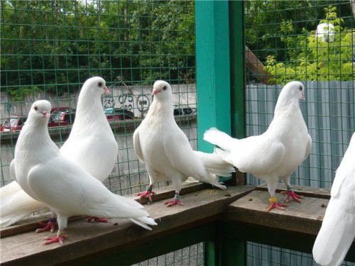 12 чистопольские авсоколетные голуби